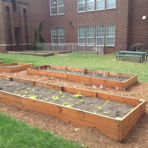 Queens University organic garden is growing spinach and lettuce for the dining hall. Fall semester 2014